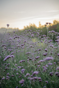 Sun rise over Verbena bonariensis @ The Real Flower Company
