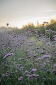 Sun rise over Verbena bonariensis @ The Real Flower Company