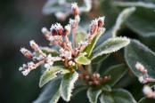 Viburnum tinus with frost