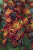"Wallflower ""Sunset Orange"