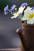 Watering can with primula vulgaris and myosotis