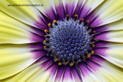 Osteospermum 'Blue-eyed Beauty'