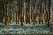 Welford Park beech woods with snowdrops