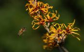 Honey bee and Witch hazel