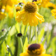 Helenium 'The Bishop'