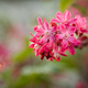 Spring Ribes