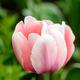 Tulipa 'Sweet Impression'