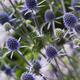 """Eryngium Planum """"Blaukappe"""""""