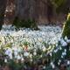 Galanthus nivalis highlights