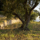 An Olive Grove at Sunrise