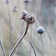 Frosted seed head of Echinacea pallida