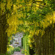 Laburnum Arch in June