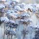 Hylotelephium 'Matrona' in Winter