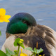 Sleeping in the garden pond with Caltha palustris