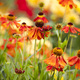 Hot Heleniums