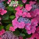Hydrangea macrophylla pink