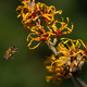 Honey bee and Witch hazel